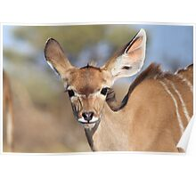 Kudu - African Wildlife Background - Innocence of Life Poster