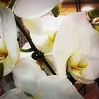 *White Orchid - Plaza* by EdsMum