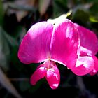 Sweet Pea Glory by Chris Gudger