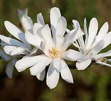 Magnolia flowers by Andrew Jones