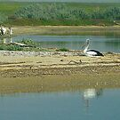 Beautiful Pelicans on Werribee Sth. Beach, Vic. by EdsMum