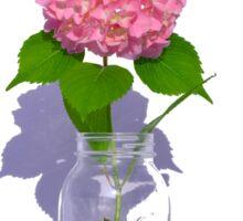 Pink hydrangea in Mason jar Sticker
