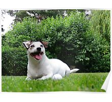 jack russel 4 Poster