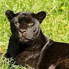 Black Beauty by Darren Wilkes