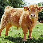 Highland Cow, The Inquisitive Calf by mhfore
