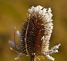 Frosty Teasel by Dave  Knowles