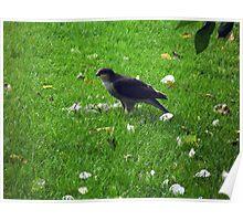 oh dear sparrowhawk raided my bird table Poster