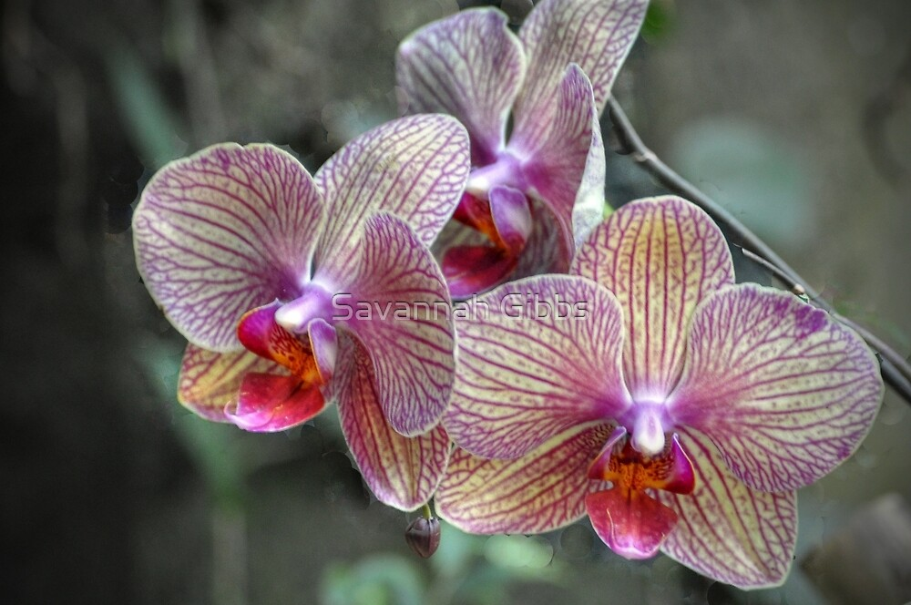 Orchids - tropical epiphytic by Savannah Gibbs