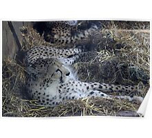 cheetah asleep  Poster