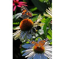 Painted Lady Butterflies Photographic Print