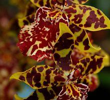 Tiger Orchid by Vanessa  Hayat
