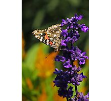 Painted Lady Butterfly IV Photographic Print