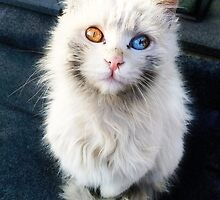 Heterochromia Iridum Cat by wormlite