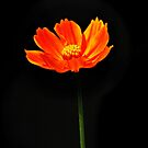 Orange Cosmos Flower by Nhan Ngo