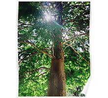 Sunshine Cypress Poster