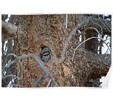 Two Baby Woodpeckers in Tree Hole Poster