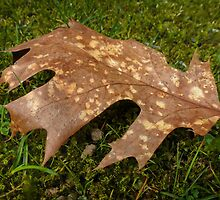 fallen oak leaf by globeboater