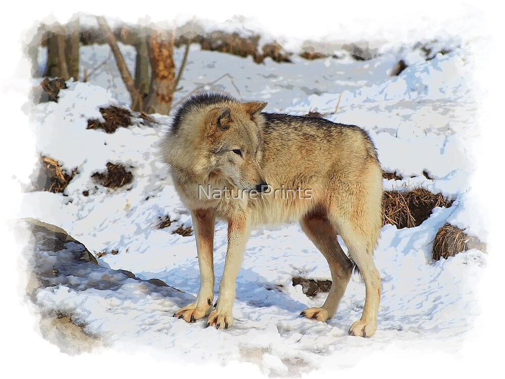 Grey Wolf in Snow Winter Scene by NaturePrints