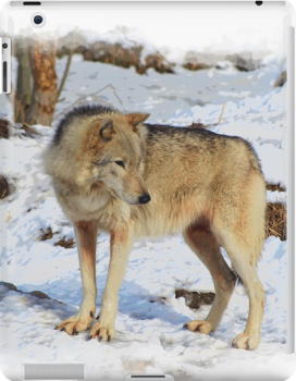 Grey Wolf in Snow Winter Scene by NaturePrints