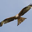 Red Kite by Ian Hufton