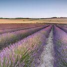 Lavender Fields by Ian Hufton