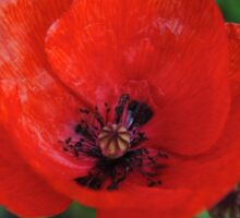 A Poppy By Any Other Name Sticker