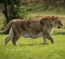 Lioness on the prowl by alan tunnicliffe