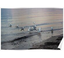 Seagulls at Sunset on the Seashore Poster