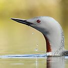 Red throated diver  by Dean   Eades