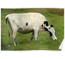 White Cow in a Pasture Poster