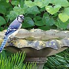 Blue Jay at the birdbath by Ostar-Digital
