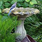 Blue Jay at the birdbath (full size) by Ostar-Digital
