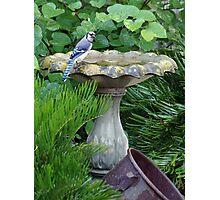 Blue Jay at the birdbath (full size) Photographic Print