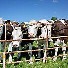 Friendly Cows by AnnDixon
