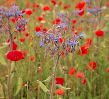 Poppies and borage by Judi Lion