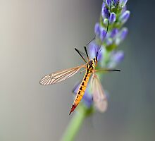 Macro Fly on Lavender by mickeyrose