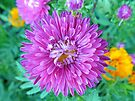 Aster with tiny Crab Spider by FrankieCat