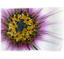 Close up of an African Daisy flower Poster