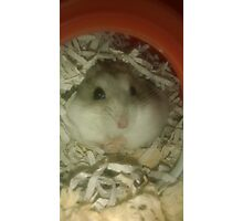 Grey the Hamster Photographic Print