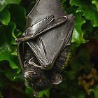 Livinstone Fruit Bat by Darren Wilkes