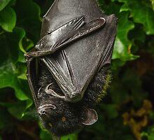 Livinstone Fruit Bat by Darren Wilkes