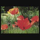 Poppy Days.. Dorset UK by lynn carter