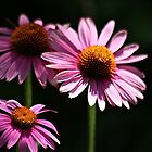 Beautiful Cone Flowers by autumnwind