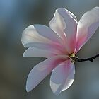 Pink Magnolia by cclaude