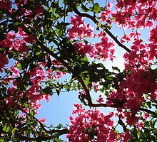 Perfect Pink Bougainvillea In Blossom by taiche