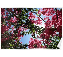 Perfect Pink Bougainvillea In Blossom Poster