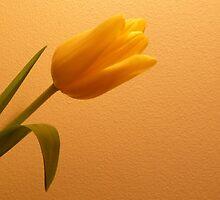 Tulip by Fara