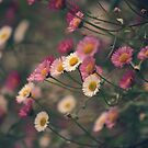 Little Daisies by Ursula Rodgers