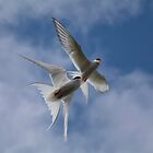 Arctic terns in flight by M.S. Photography/Art