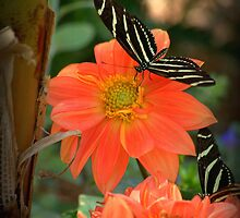 Peach Dahlia's With Longwing Butterflies  by Diana Graves Photography